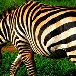 in2kenya zebra
