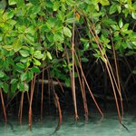 Healthy mangrove protects our beach