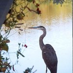 Great Blue Heron on Duck Inn Dock