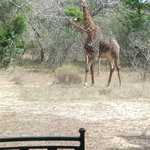 Giraffe in clearing by our veranda