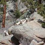 Big Horn Sheep at Wildwood Inn