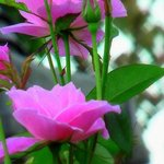 กุหลาบจุฬาลงกรณ์ ดอกใหญ่ สีสวยหวาน