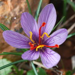 A rare endemic crocus in November