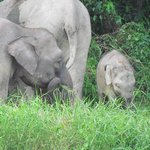 The local Pygmy Elephant