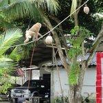 Apa som klättrar i rep och i träd och tar ned kokosnötter