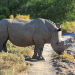 Rhino crossing our path