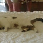 One of the 6 toed cats sleeping on the master bed