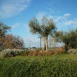 Ulivi ed erbe officinali nel giardino