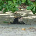 White faced capuchin on Playitas