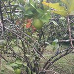 our personal lime tree! fresh juice every morning