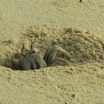 A ghost crab on the island