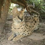One of the hunky Serval studs who fathers the litters