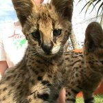 I think this was Hurley - one of the Serval Kittens.