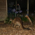 The kangaroos came right up next to our cabin!