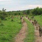 baboons & impala...guaranteed, the rest, maybe...cats very elusive