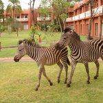 Cuidado com as zebras