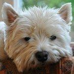 Oscar our friendly West Highland Terrier