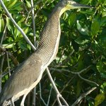 Tiger Throated Heron