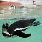 Pinguim de Humboldt   Humboldt Penguin