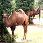 Camelo Asiático   Bactrian Camel
