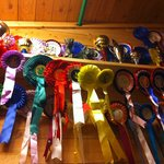 Northern Norway`s Lyngshest (Lyngs-horse): Stable Reisa won a lot!