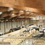 Nos vaches laitières