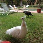 pavo reales en los jardines