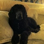 Poodle in the parlor