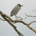 a yellow-crowned night heron just outside our hotel room