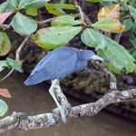 a little blue heron on the river which empties out right by the hotel and is filled with life in