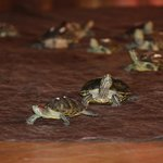 Live turtle races!