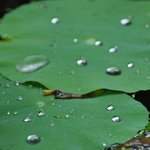 Rain on lilypad