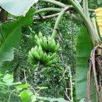 Guido s Bananen