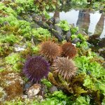 Sea urchins on our guided tidal pool marine walk - we had a fantastic guide