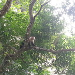 white face monkey near the clubhouse