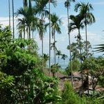 swaying betel nut palms
