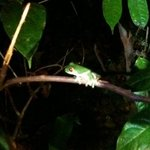 red eye tree frog on a night hike