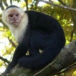 White-headed Capuchin near cabin's front porch