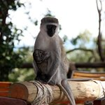 Masai Mara monkey