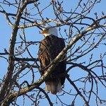 Eagle near the river