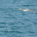 Dolphins swimming near the boat