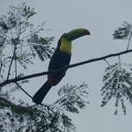 Toucan seen on a tree in the parking lot