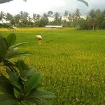 Rice paddy outlook