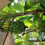 Banana tree at poolside