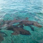 Nurse Shark at Shark Ray Alley