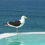 Seagull at hotel Plettenberg pool