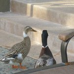 The pair of ducks that hang out by the pool :)