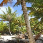 wild coconut trees