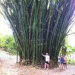 Bambo Tree