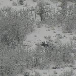 female moose come down the mountain during morning snow